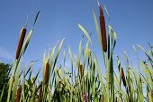 Bulrushes In A Blue Sky