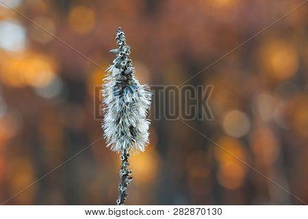 Autumn Blazing Star