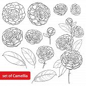 Vector Set With Outline Camellia Flower Bunch, Bud And Leaves In Black Isolated On White Background. poster