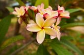 Tropical yellow pink plumeria flowers macro. Shallow focus depth on front flower