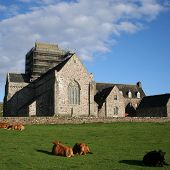 Iona Abbey With Cattle