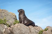 A New Zealand Fur Seal, Southern Fur Seal Or Long-nosed Fur Seal Arctocephalus Forsteri, Basking In  poster