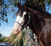 pic of clydesdale  - Clydesdale stallion eating hay in the shade of a tree - JPG