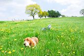 Beautyful Adorable Young Dog Basset Hound Smiling With Happy Sitting In A Field Of Dandelion With Bl poster
