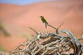 Bee Eater On A Dead Tree In Namib Naukluft National Park Namibia Africa