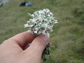 Small white European Edelweiss mountain flower from Romania