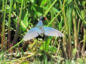 Purple Gallinule (porphyrio Porphyrio) Is In The Family Rallidae. The Purple Gallinule Is More Commo poster