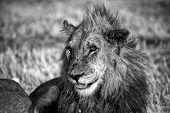 White And Black Lion In Etosha National Park Namibia