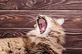 Cat Mouth, Brown Tabby Long Haired Yawning. Portrait Of A Cute Gray Tabby Yawning Cat With A Sharp T poster