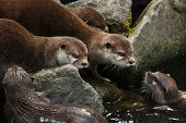 Oriental small-clawed otter (Amblonyx cinereus), also known as the Asian small-clawed otter.  poster