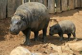 Pygmy Hippos - Exotic Animal poster