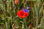 Poppy Flower And Cornflower. Red Poppy Flowers. Blooming Poppy Flowers. Red Poppy Flowers On A Green poster