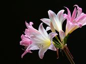 picture of belladonna  - A flower head of an Amaryllis or Belladonna Lily  - JPG