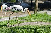 Walking Painted Storks(mycteria Leucocephala)