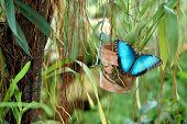 picture of blue butterfly  - photographed a blue morpho butterly from a butterly garden in florida - JPG