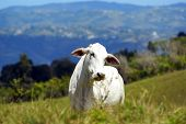 White Cow On A Pasture In Puerto Ricos Highlands