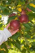 Apple Picking In The Orchard, Boy\'S Hand Reaching For Red Apples Hanging From Tree