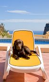 Dog On Sun Lounger