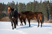 foto of shire horse  - Herd of standing horses in the winter - JPG