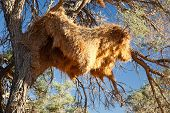 Sociable Weavers Big Nest. Namibia. Africa.
