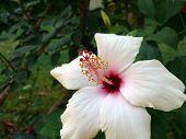 Flower Of White Hibiscus