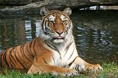 Tiger Portrait - Resting/Laying Down
