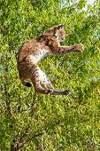 Playful Eurasian Lynx Jumping To Catch Something In Paws