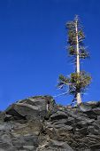 pic of mckenzie  - Solitary conifer snag on slate outcrop against deep blue sky. Near McKenzie summit Oregon.