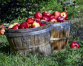 stock photo of cider apples  - Basket of ripe apples in the apple orchard - JPG