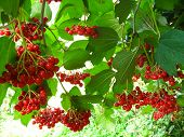 cluster of a red ripe guelder-rose