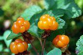 Ripe berries cloudberry
