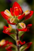 Extreme Closeup of an Closeup of Indian Paintbrush Wildflower