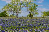 A Beautiful Wide View of a Texas Meadow Blanketed with the Famous Texas Bluebonnet with Trees