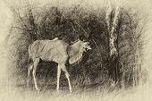 Sepia Walking Kudu Bull Vintage Artwork
