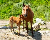Young Foal And Mare At Meadow Near Mountains River