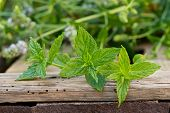 foto of peppermint  - a peppermint on the wooden desk in the garden - JPG