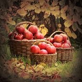 stock photo of orchard  - Fresh ripe apples in the basket - JPG