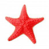 The Caribbean starfish (Oreaster reticulatus).