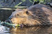 image of marshes  - Young beaver stripping bark from a tree branch - JPG