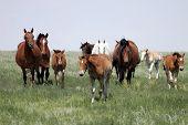 Horses - Herd Of Mares & Babies