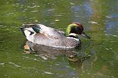 Male Falcated Duck