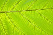 Teakwood Leaf
