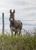 stock photo of jack-ass  - Donkey standing at barbed wire fence - JPG