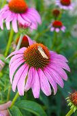 image of prairie coneflower  - Large pink coneflowers - JPG
