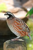 pic of quail  - Northern Bobwhite  - JPG
