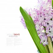 Beautiful Pink Hyacinths  over white(with easy removable sample text)