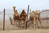 pic of dromedaries  - Dromedary camels behind a fence. Qatar Middle East