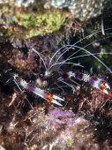 Coral Banded Shrimp,shrimp,stenopus Hispidus