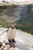 Penguin  (spheniscus Humboldti)