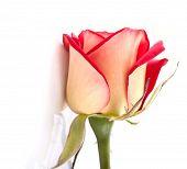 Beautiful Two Colors Rosebud